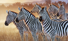 Canvas print - Zebras in a Group