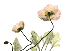 Wall mural - Iceland Poppy