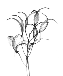Canvas print - Seedpods Oleander Bush