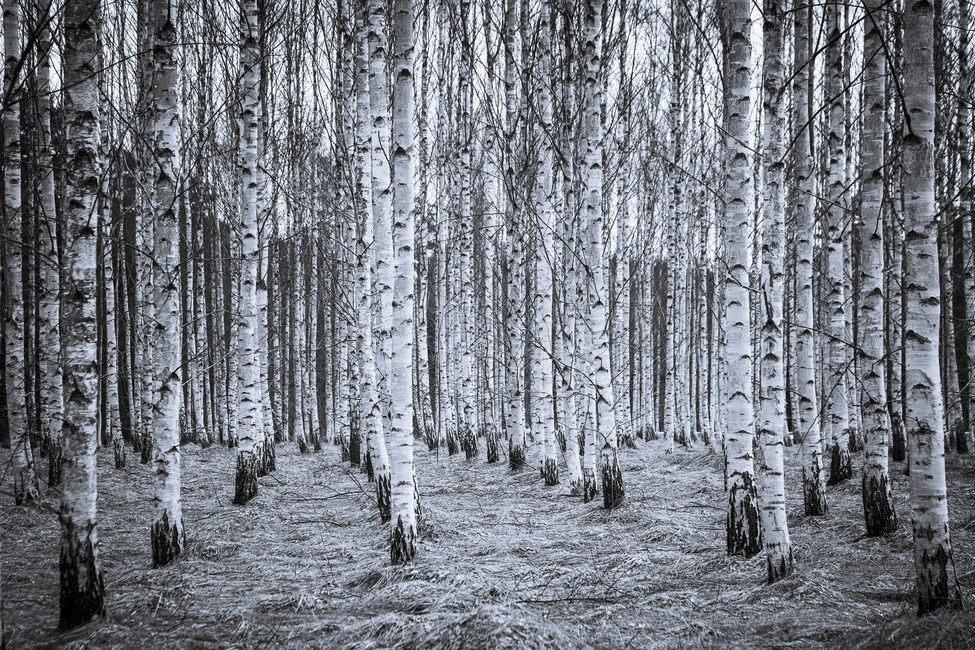 Birch Forest Black & White
