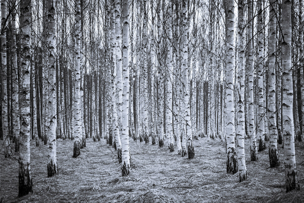 Birch forest black white wall mural photo wallpaper for Birch forest wall mural