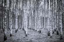 Wall mural - Birch Forest Black & White
