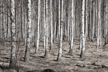 Wall mural - Birch Forest
