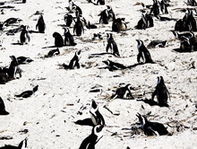 Wall mural - Penguins in the Sand