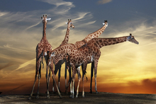 Fototapet - Giraffes and a View