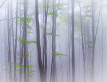 Wall mural - Misty Woods