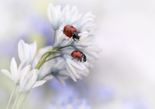 Wall mural - Ladybugs on White Flower
