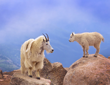 Fototapet - Goats in Colorado