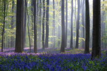 Canvas print - Bluebells