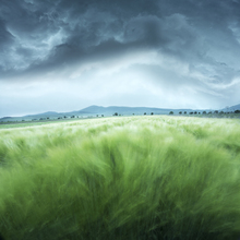 Wall mural - Green Barley Field