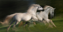 Canvas print - White Horses Gallop