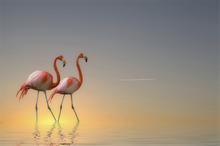 Fototapet - Two Flamingos