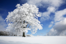 Fototapet - Winter Tree