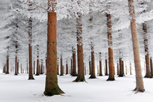 Wall mural - White Forest