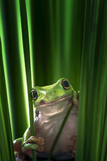 Canvas print - Green Frog