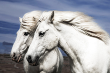 Valokuvatapetti - Two Beautiful White Horses