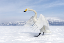 Fototapet - Winter Swan