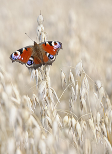 Fotobehang - Peacock Butterfly on Oats