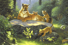 Canvas print - Puma & Cubs