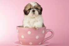 Fototapet - Dog in Cup