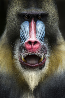 Canvas print - Mandrill Monkey Face