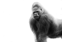 Canvas print - One Gorilla