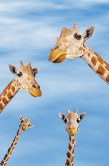 Canvas print - Giraffes & Blue Sky