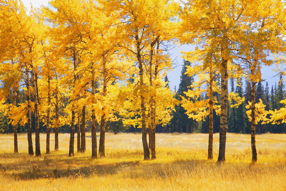 Yellow autumn trees wall mural photo wallpaper photowall for Autumn tree mural