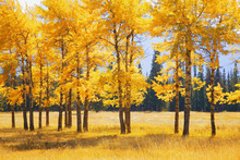 Canvas print - Yellow Autumn Trees