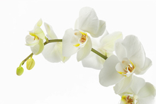 Canvastavla - Soft White Orchid Stem