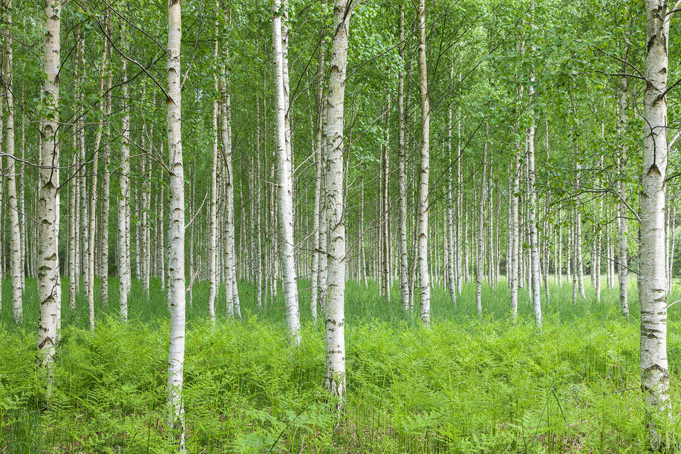 Summer birch forest wall mural photo wallpaper photowall for Birch wall mural