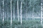 Fototapet - Mystic Birch Forest