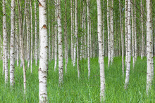 Canvas print - Birch Forest & Green Grass
