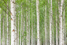Fototapet - White Birch Forest