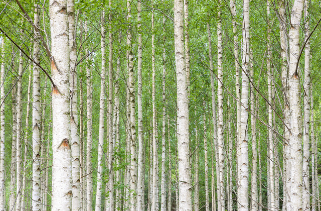 White birch forest wall mural photo wallpaper photowall for Birch forest wall mural