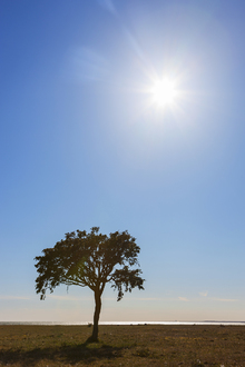 Fototapet - Sunny Lonely Tree, Gotland