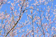 Canvastavla - Cherry Blossom Branches