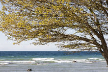 Canvas print - Tree on Beach, Gotland