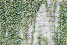 Canvas print - Ivy Wall