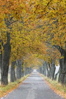 Fototapet - Autumn Avenue