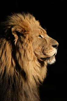 Wall mural - Big Male African Lion
