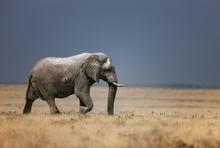 Fototapet - Elephant in grassfield