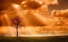 Fototapet - Orange Tree in field