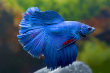 Fototapet - Siamese Fighting Fish