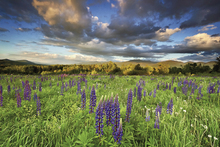 Wall mural - Lupine Sunset