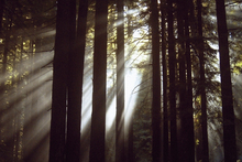 Canvastavla - Sunlight Through the Redwoods 2