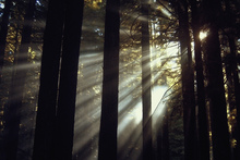 Wall mural - Sunlight Through the Redwoods