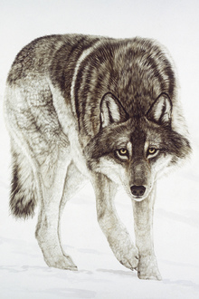 Wall mural - Timber Wolf
