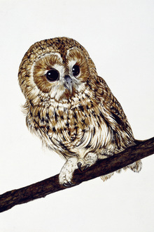 Canvas print - Owl on a Branch