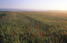 Wall mural - Dreamy Fields of Poppies